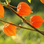 Ashwagandha: The powerful fitness blessings and beauty benefits You want to understand