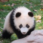 Female Pandas Travel Miles To Seek Mates