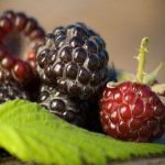 Black raspberry can help keep your heart safe
