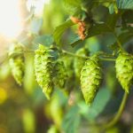 Can Hops extract cut down breast cancer risk?