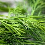 Parsley and Dill may also help fight cancer, Scientists reveal