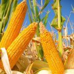 Soluble Corn Fibre Can Help Women Build Stronger Bones