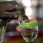 Cobra venom can help surgeons spot cancer tumours