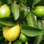 Guava Leaves for Hair Growth: How to Use This Ancient Beauty Remedy
